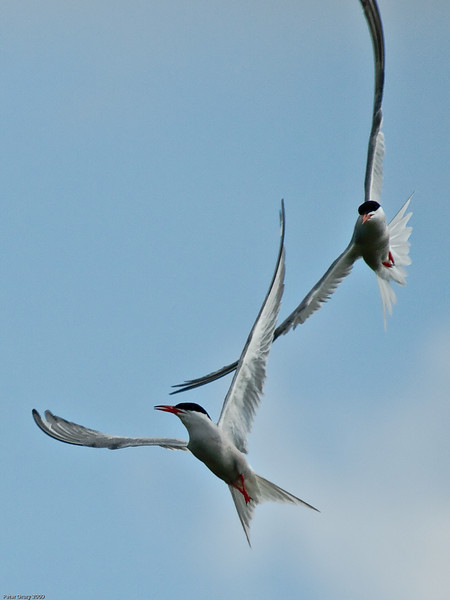 Common Tern (Sterna hirundo). Copyright 2009 Peter Drury<br /> Play fight in flight<br /> The old oysterbeds, North Hayling Island