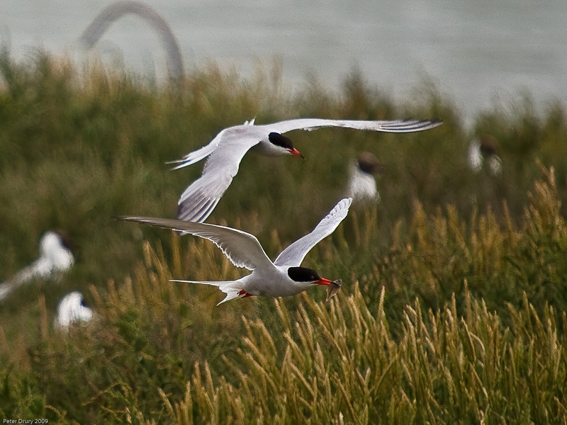Common Tern (Sterna hirundo). Copyright 2009 Peter Drury