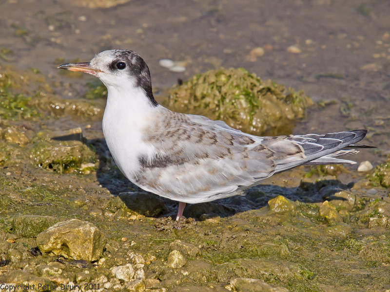04 July 2011. Common Tern fledgling at the Oysterbeds. Copyright Peter Drury 2011