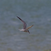 Common Tern (Sterna hirundo). Copyright Peter Drury 2009<br /> Fishing off the Southmoor coastline, Langstone Harbour