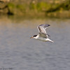 04 July 2011. Sandwich Tern flying over the lagoon at the Oysterbeds. Copyright Peter Drury 2011
