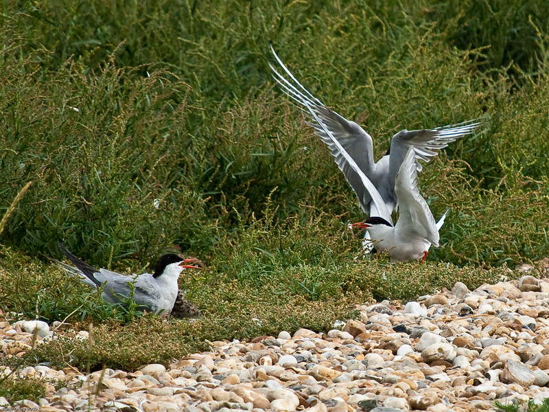 Common Tern (Sterna hirundo). Copyright 2009 Peter Drury<br /> A Tern returning from a fishing expedition almost lands on another. Its mate (with a newly hatched chick alongside) calls out to rebuke the careless partner.<br /> North Hayling nature reserve.