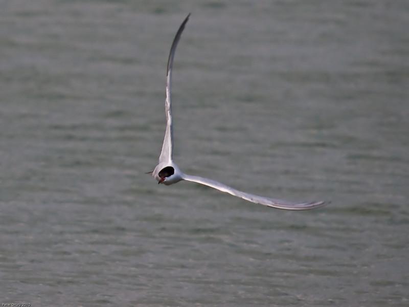 Common Tern (Sterna hirundo). Copyright Peter Drury 2010