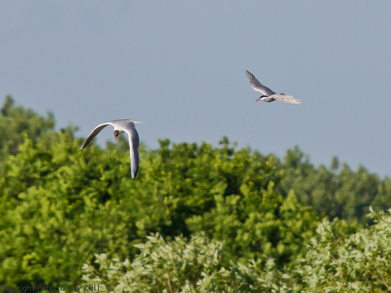 10 May 2011. Common Tern at the Oysterbeds. Copyright Peter Drury 2011