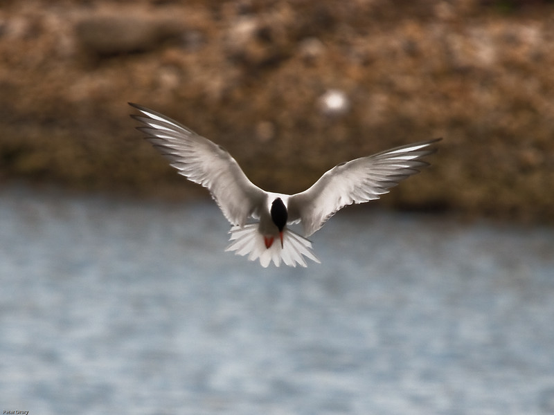 Common Tern (Sterna hirundo). Copyright 2009 Peter Drury<br /> Hovering above the water spying its prey.<br /> The old oyster beds, Langstone harbour, Hayling Island..