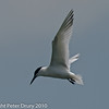 Sandwich Tern over Southmoor, Langstone Harbour.  Copyright Peter Drury 2010