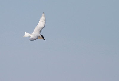 Gull-billed Tern Seaside Sparrow