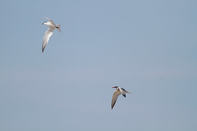 Gull-billed Tern being chased by Common Tern