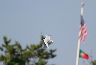 Gull-billed Tern Seaside Sparrow