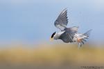 Black-fronted tern (Chlidonias albostriatus)