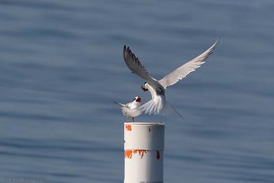 0U2A2393_Common Tern