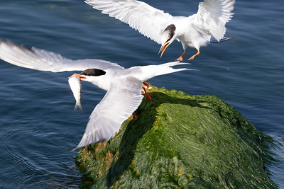 0U2A2431_Common Terns