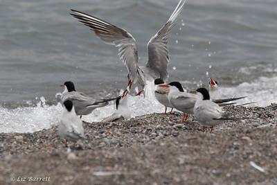 _J3A1036 Tern feeding chick