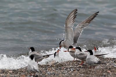 _J3A1035_Tern feeding young