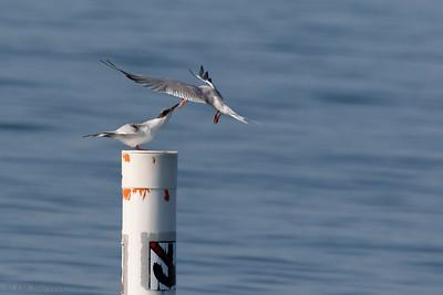 0U2A2365_Common Tern