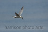 Forster's Tern<br /> Chincoteague National Wildlife Refuge, VA