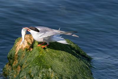 0U2A2429_Common Tern