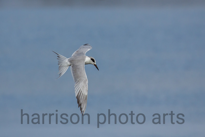 Forster's Tern<br /> Chincoteague National Wildlife Refuge, VA