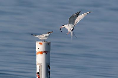 0U2A2413Common Tern
