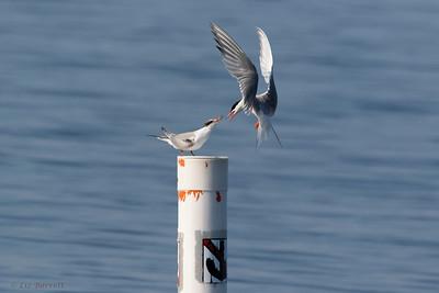 0U2A2364_Common Tern feeding