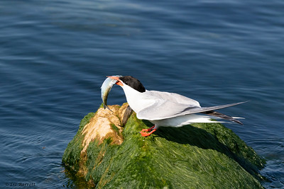 0U2A2427_Common Tern
