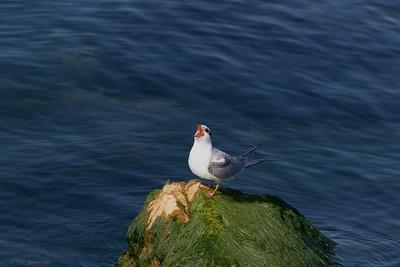 0U2A2438_Common Tern