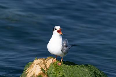 0U2A2442_Baby Common Tern