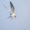 Breeding Forster's Tern