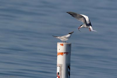0U2A2414_Common Tern