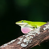 Anolid Lizard