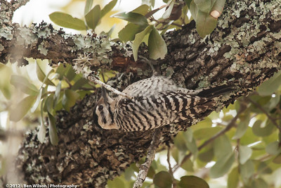 Ladder-backed Woodpecker-female