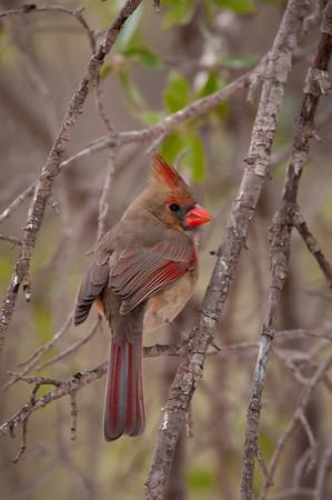 Texas Birds 2011