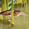 Least Bittern - Leonabelle Turnbull Birding Center - Port Aransas, TX