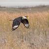 Crested Caracara - Rockport, Texas