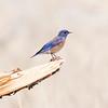 Western Bluebird - Davis Mountains SP - Fort Davis, TX