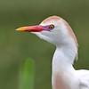 Cattle Egret - Anahuac NWR, TX