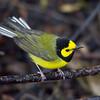 Hooded Warbler - Paradise Pond - Port Aransas, TX