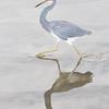 Tri-colored Heron - South Padre Island, Texas