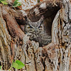 Great Horned Owl - Big Bend NP, Texas