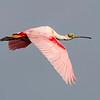 Roseate Spoonbill - Smith Oaks Sanctuary - High Island, TX