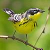 Magnolia Warbler-Female - Paradise Pond - Port Aransas, TX