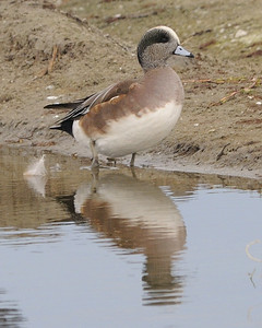 American Wigeon @ South Padre Island 11/2009