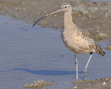 Long-billed Curlew @ South Padre Island 11/2009