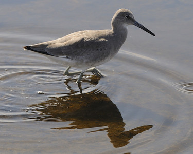 Willet @ South Padre Island 11/2009