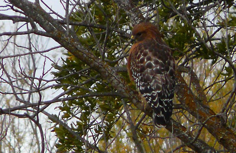 A Red Shouldered hawk in Del Rio.