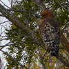 A Red Shouldered hawk in Del Rio.