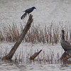 Cormorant and grackle.
