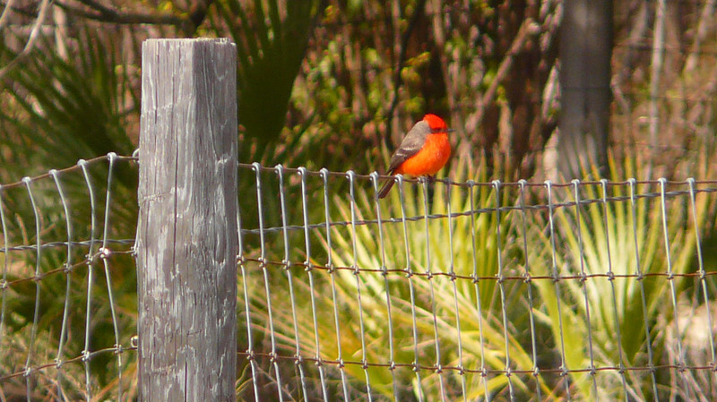 A vermillion flycatcher in Del Rio, Texas.