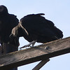 Black vultures around a deer carcass near the roadside.