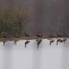 Black Belllied whistling ducks on a pond.